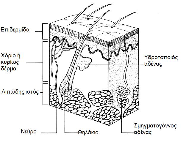 Δέρμα και δερματικοί όγκοι