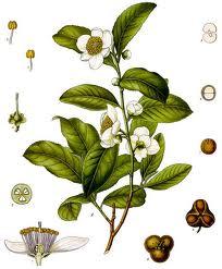 Το πράσινο τσάι ασπίδα κατά του καρκίνου