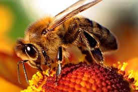 Αλλεργία σε μέλισσες – σφήκες